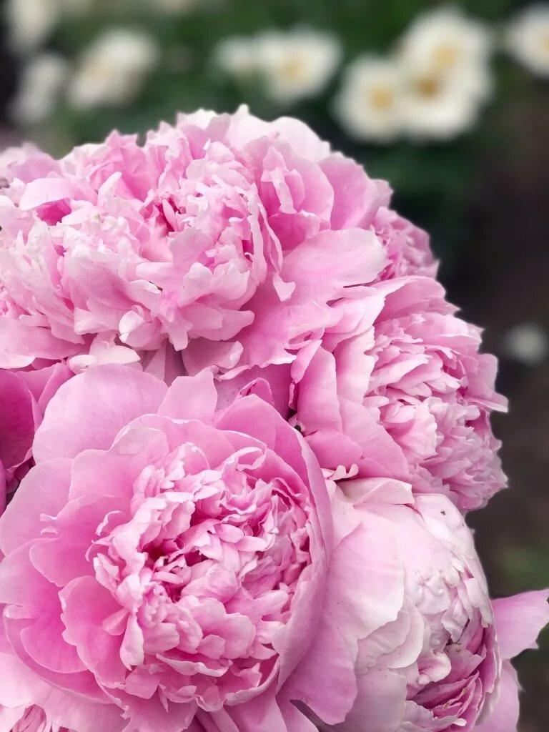 Цветы пионы фото красивые картинки ландшафтном
