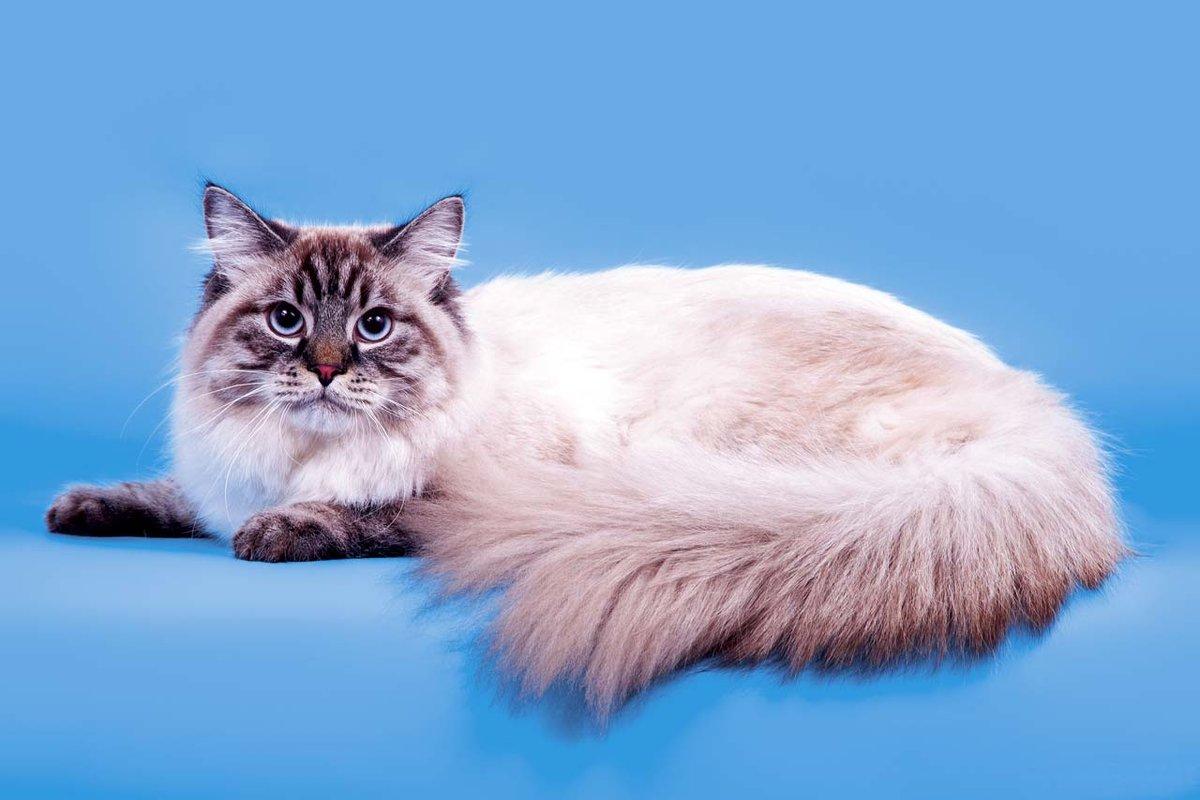 Коты породы маскарадная фото