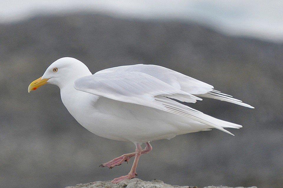 Белая чайка видео