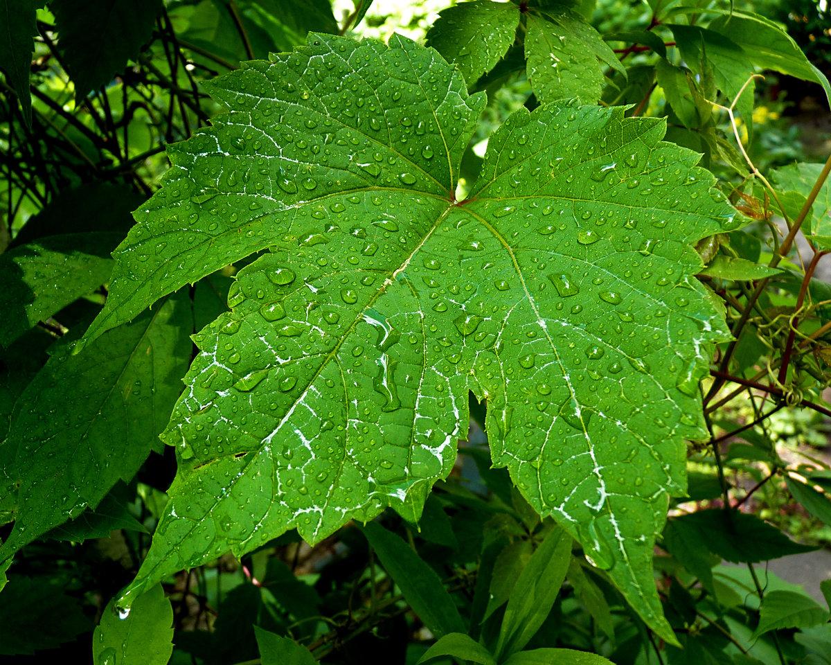 моретт фото листа винограда сожалению, плохо считывает