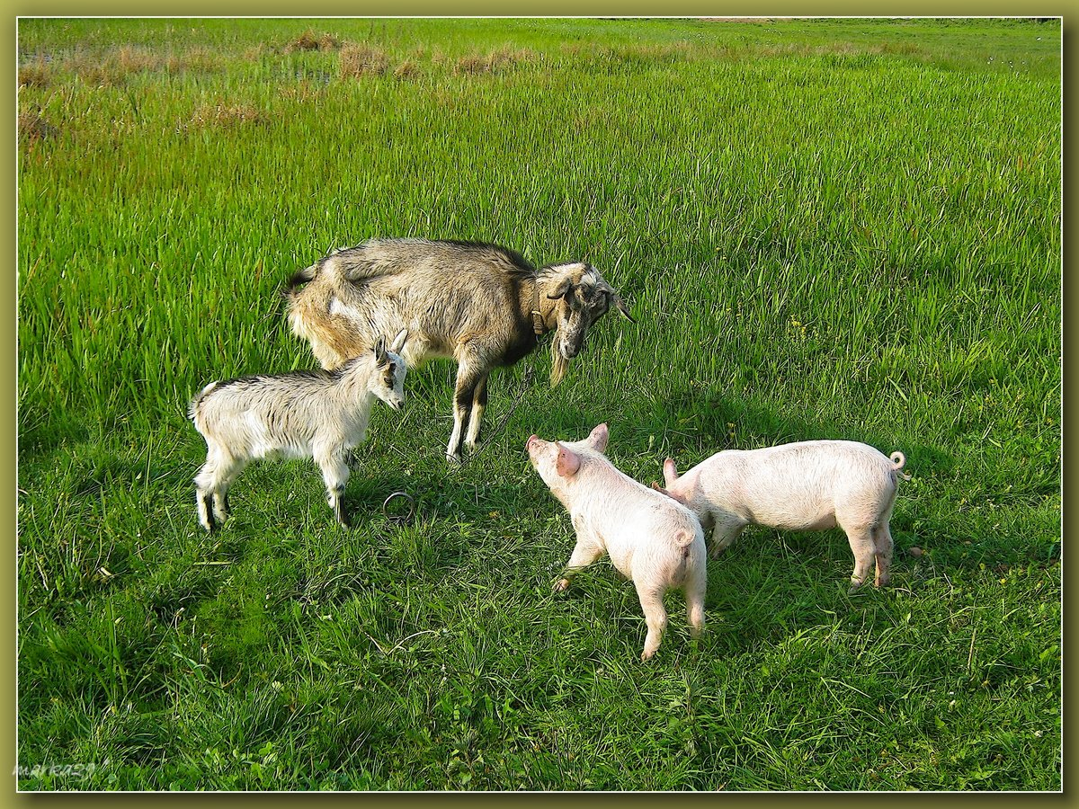 заходить коза с козлятами веретенникова картинки мультфильме