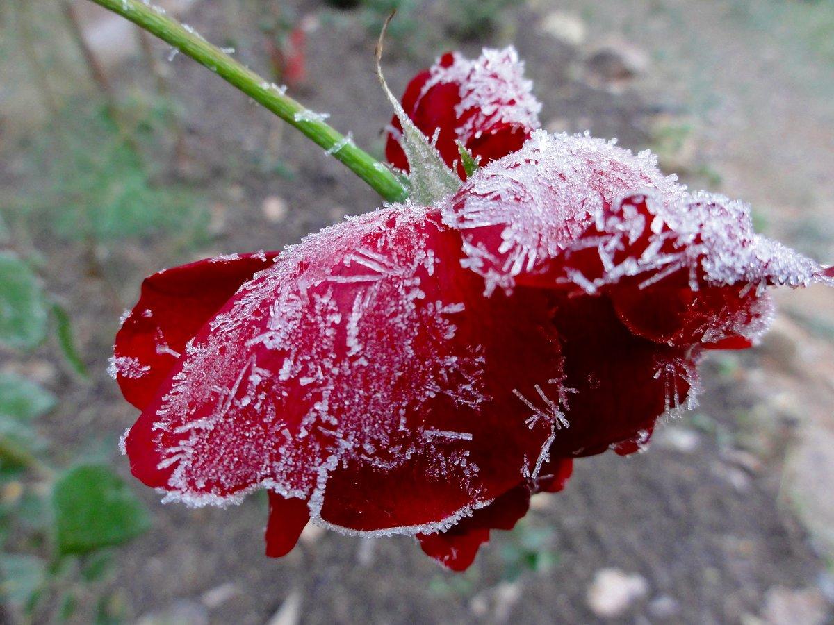 Открытка снег на розах