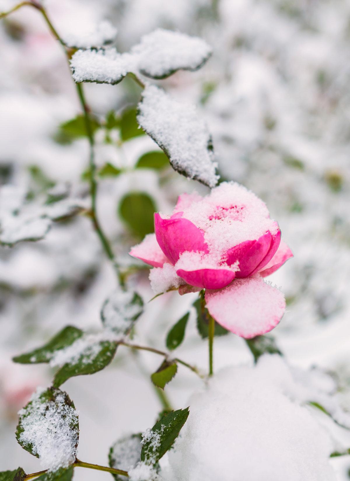 создалась розовые розы на снегу фото блюда