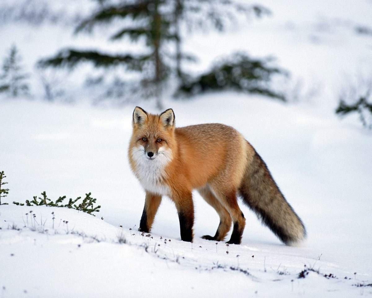 Днем рождения, красивые картинки лисы