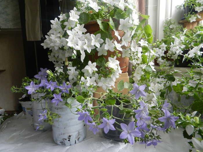 Где купить цветок жених и невеста в спб