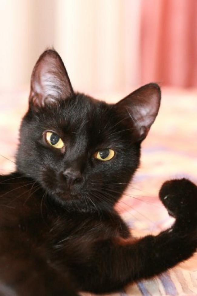 black cat breeds - 650×975