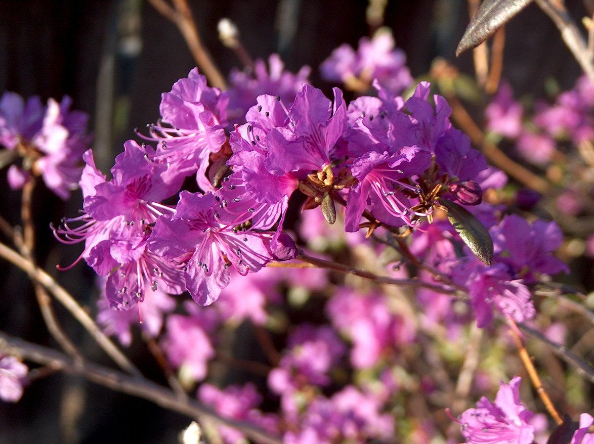 Цветок багульника фото