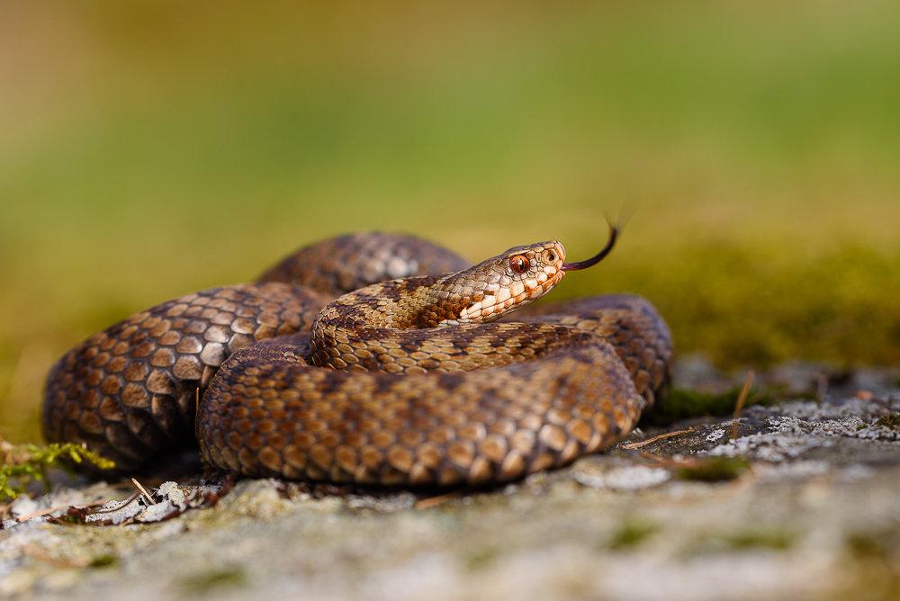змеи свердловской области фото думаете