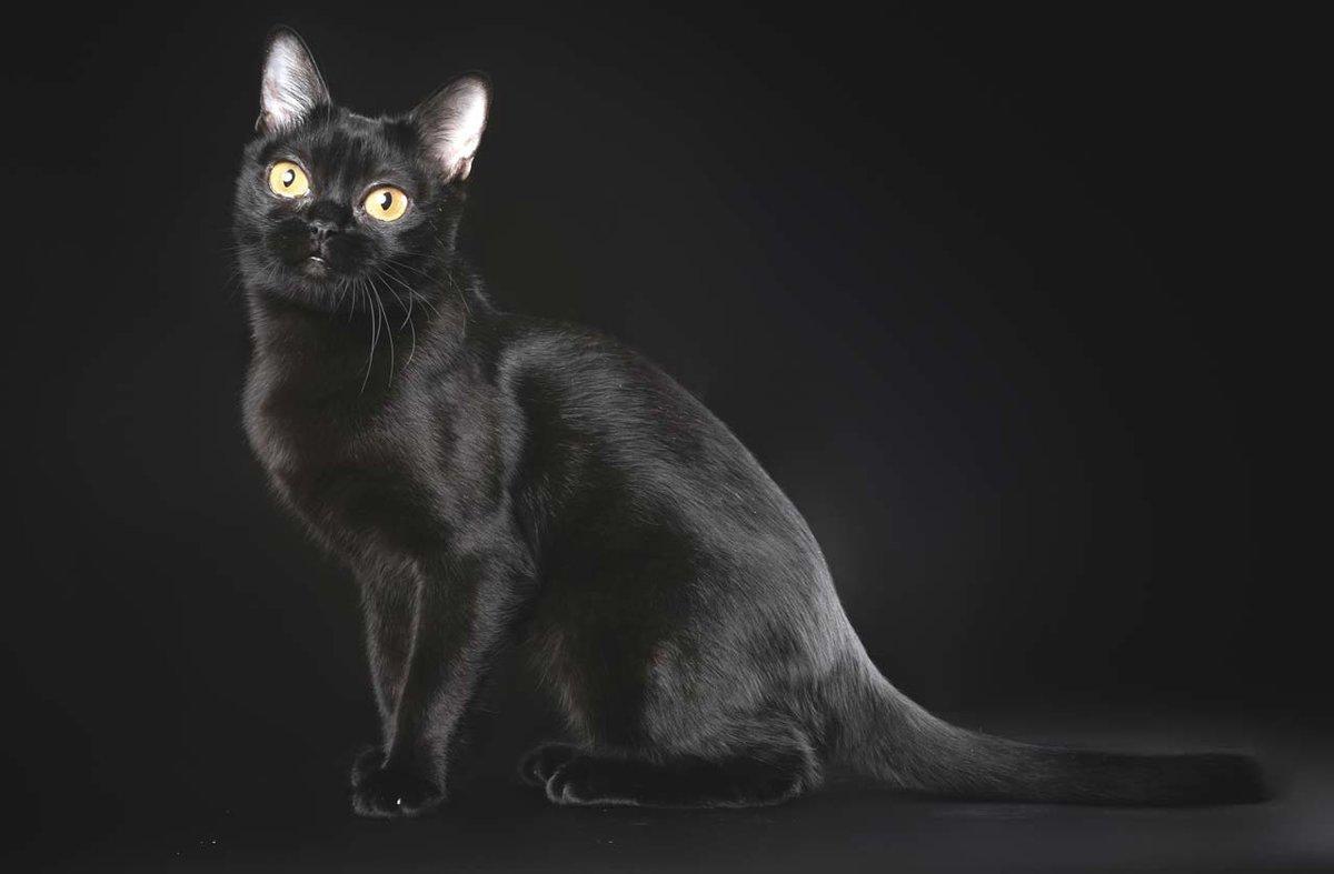 него черные коты порода был