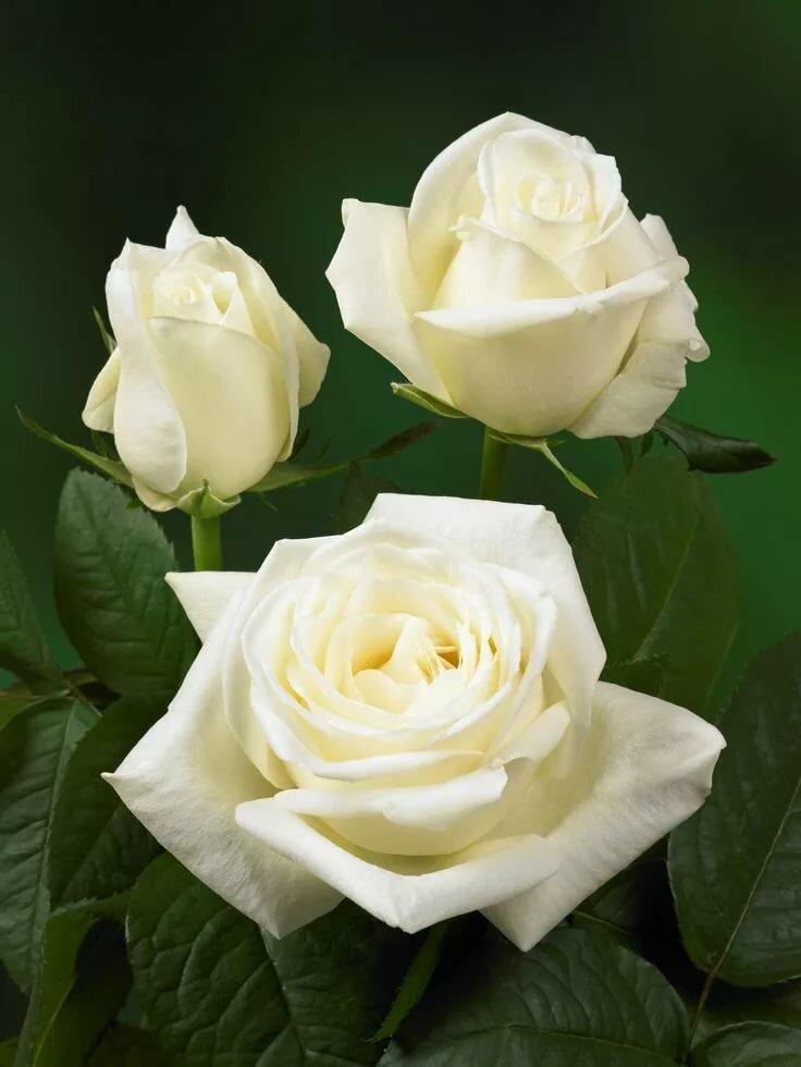 Три белые розы фото