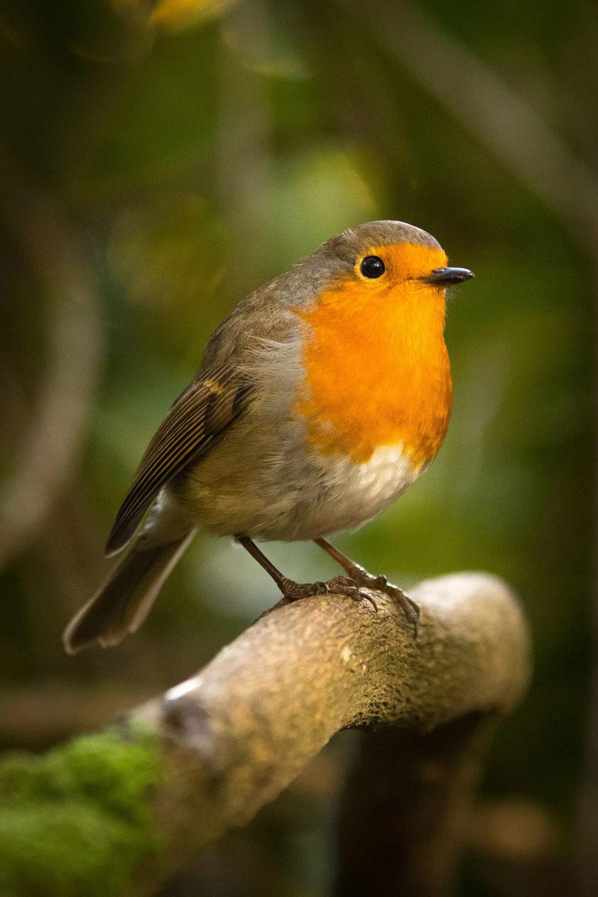 картинки птицы робина снегу прикольные фото