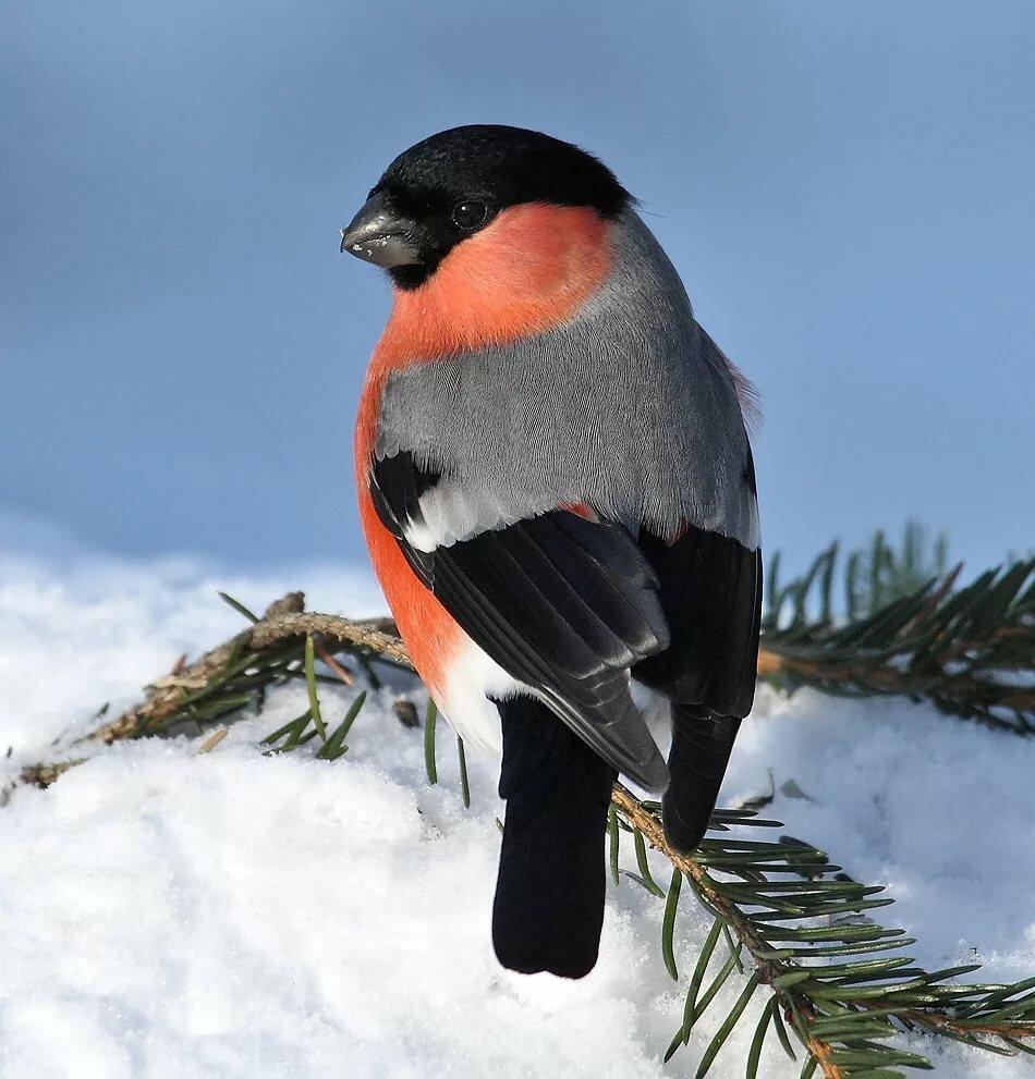 Снегири птица картинки