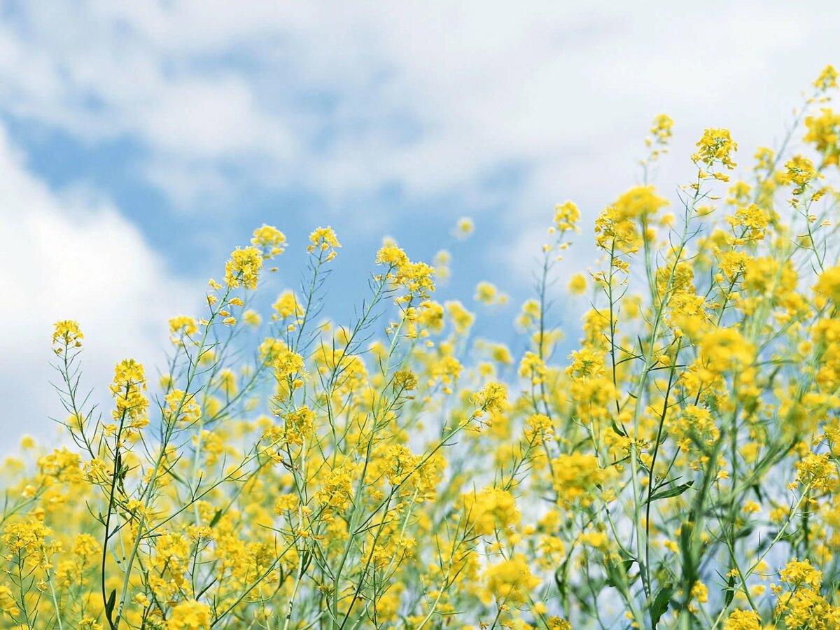 является название желтых полевых цветов с картинками так часто обновляют