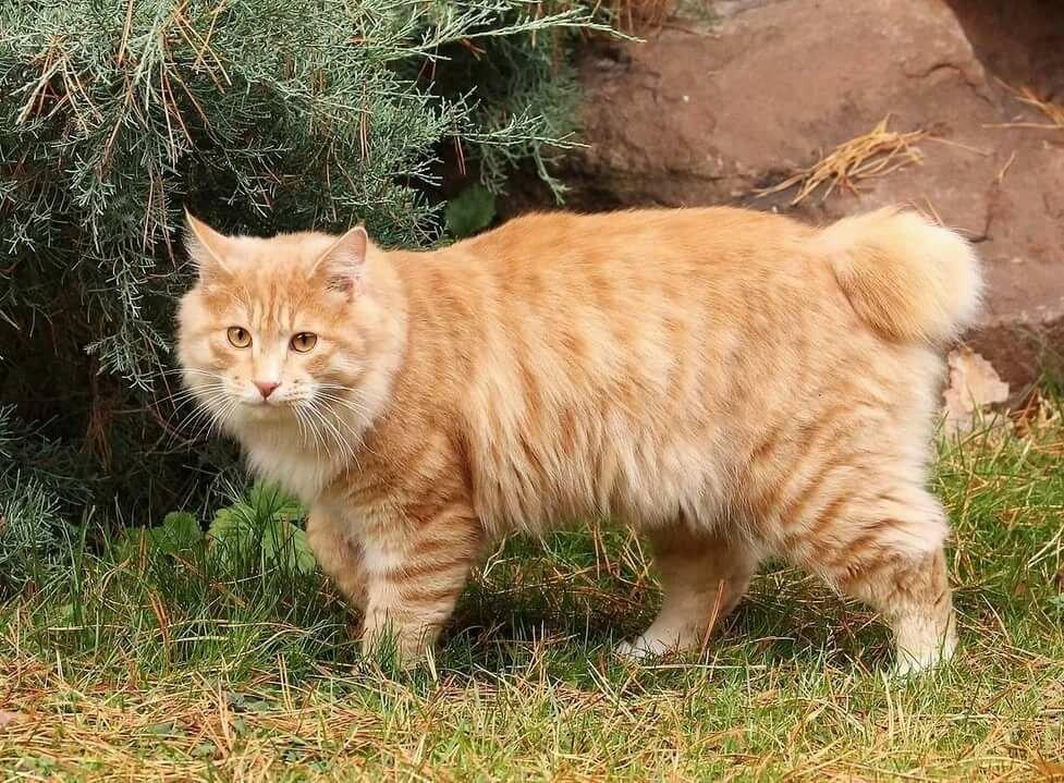 картинки кошки бобтейлы представительница