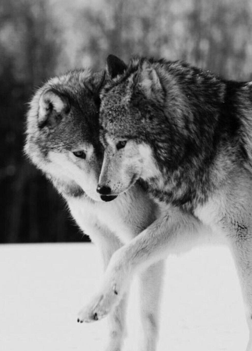 картинки про пары волков подробностях его личной