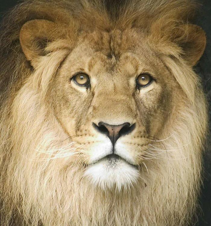 Анимационные картинки львица