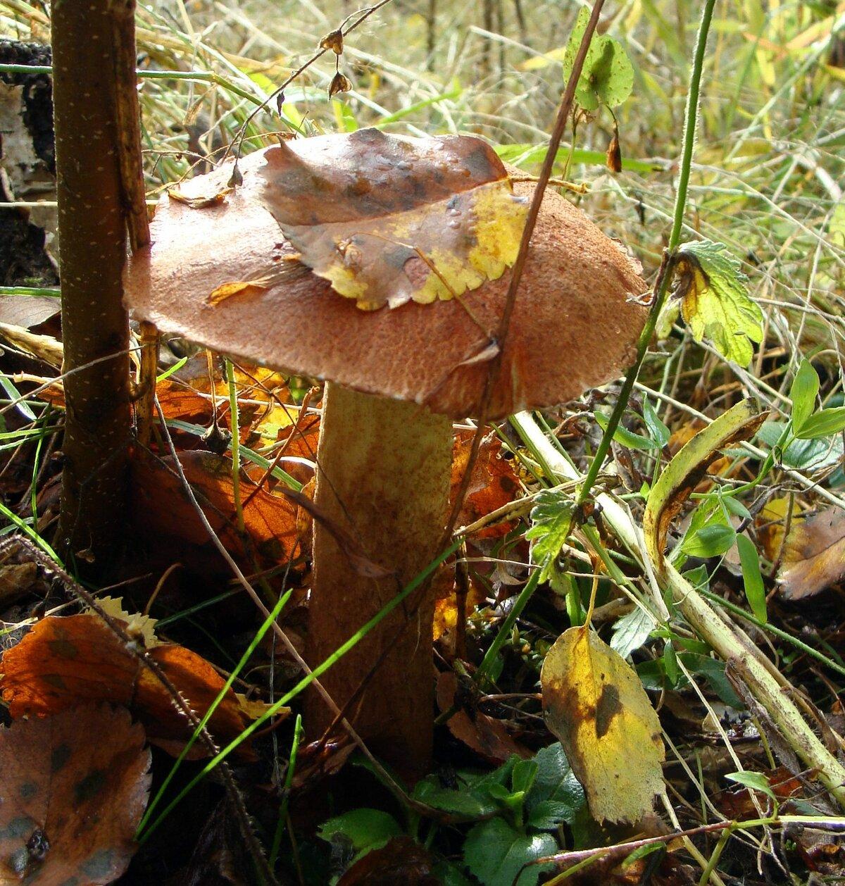 картинка гриб подосиновик под осиной
