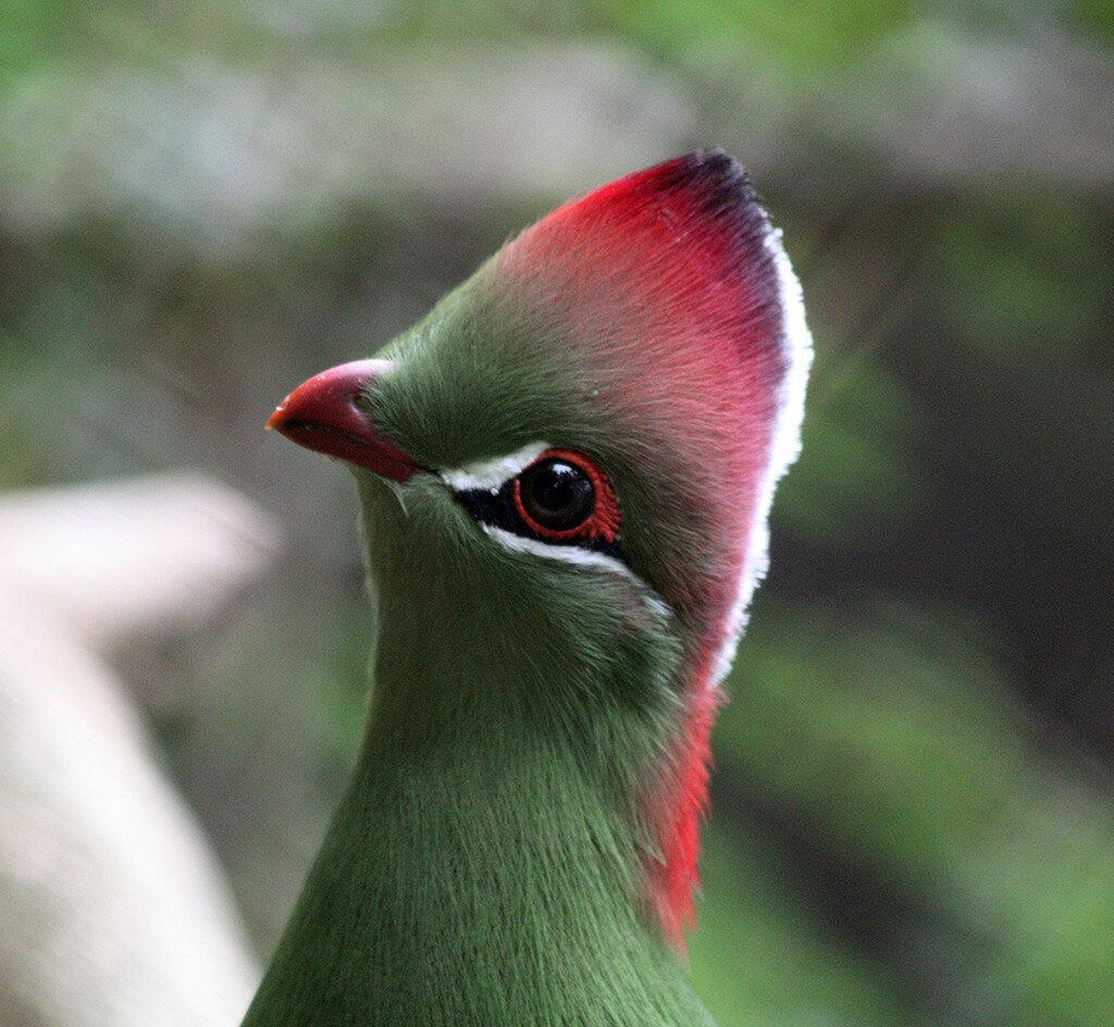необычные птицы мира с описанием с картинками пьяной лисой
