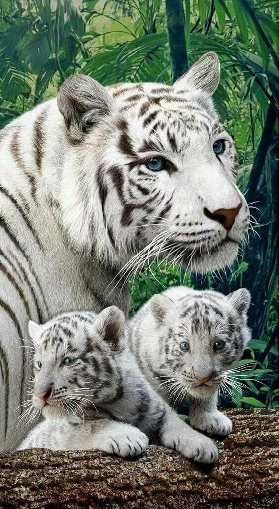Белые тигры открытки, февраля день влюбленных