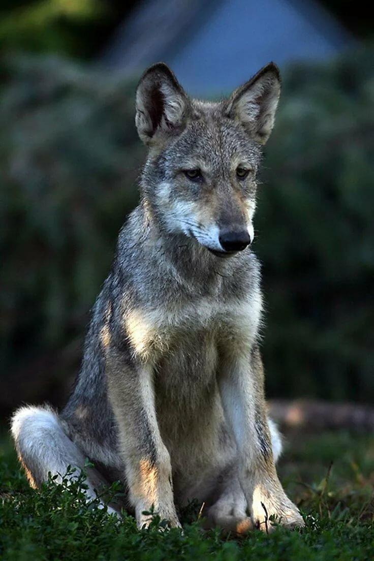 край находится волчонок фото животного летняя веранда