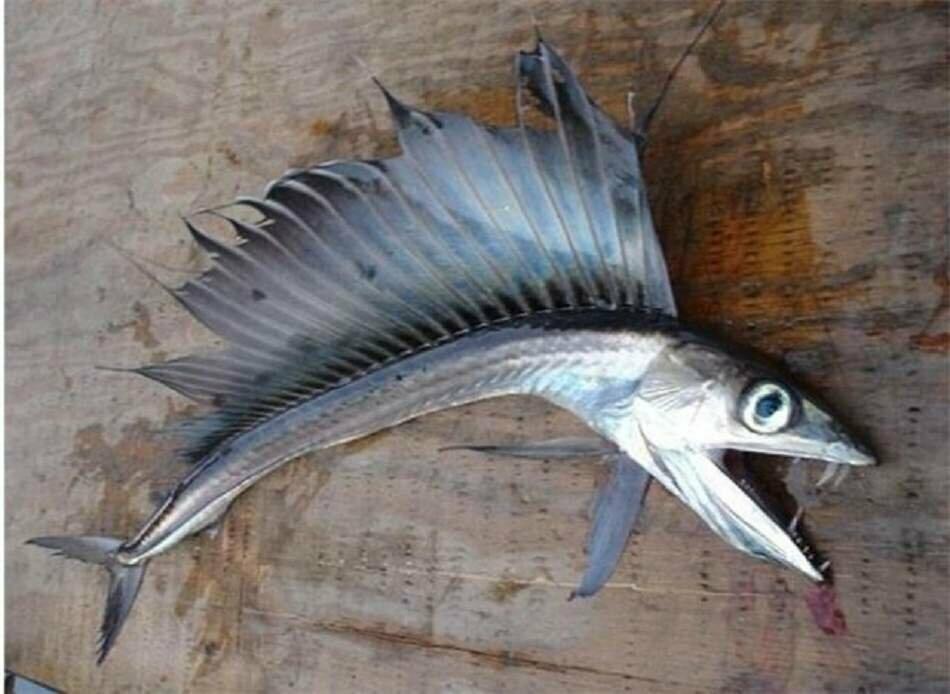 Рыба пилозуб картинки