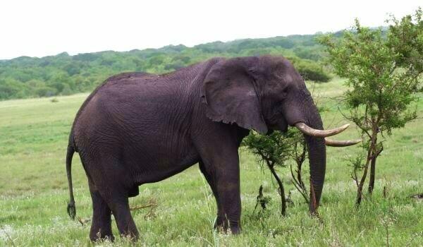 Большой индийский слон