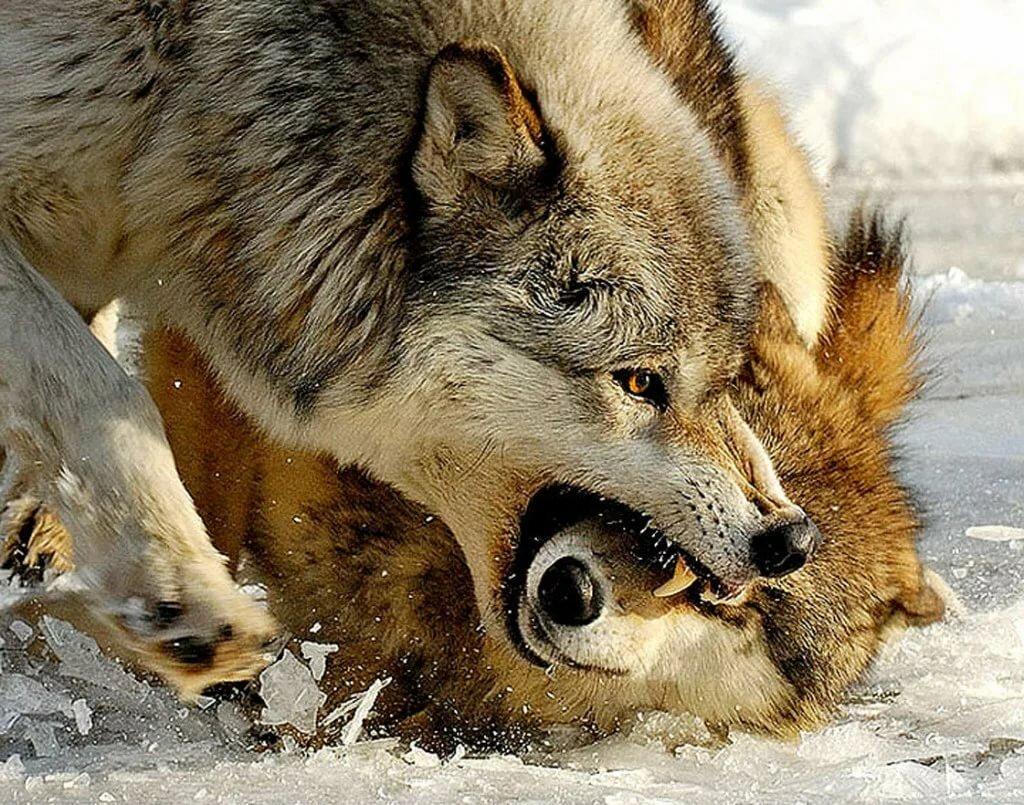 картинка бой волков выбора доступны как
