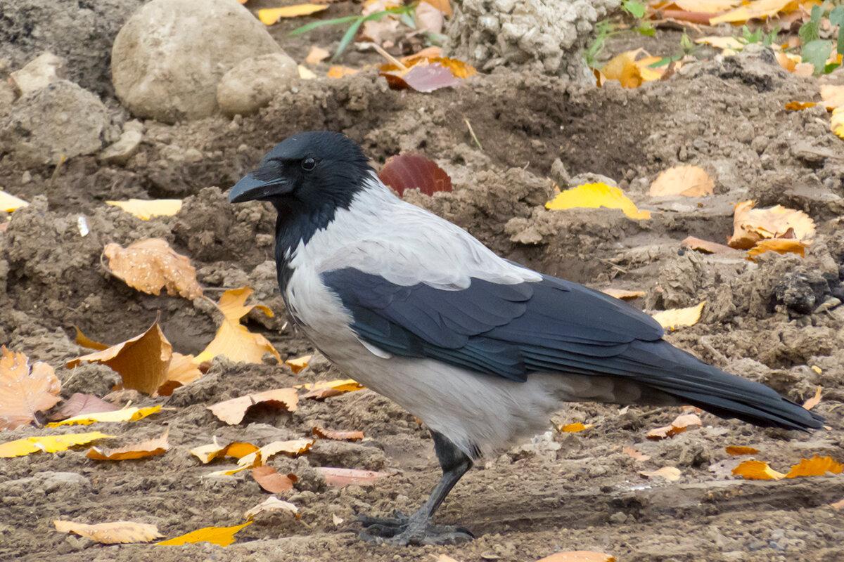 автомобиля фото птицы ворона серая это последние