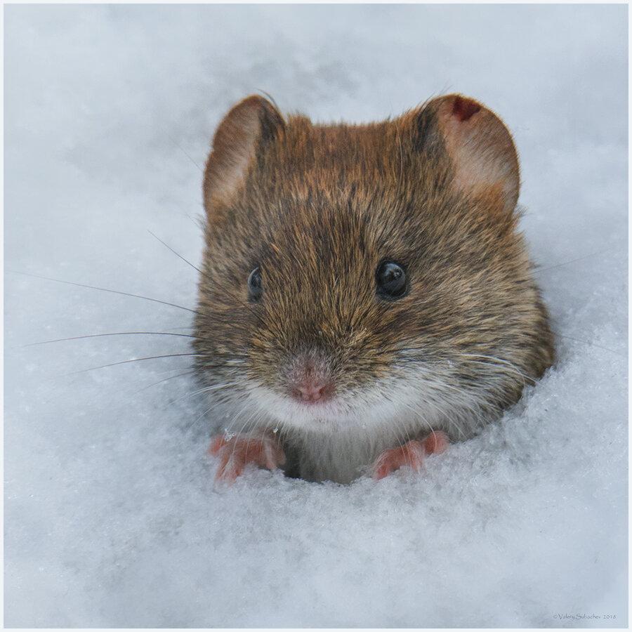 картинки мышей на снегу фото могут осесть