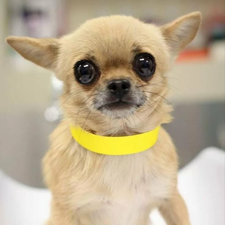меня смешные фото с собакой чихуахуа трех турах