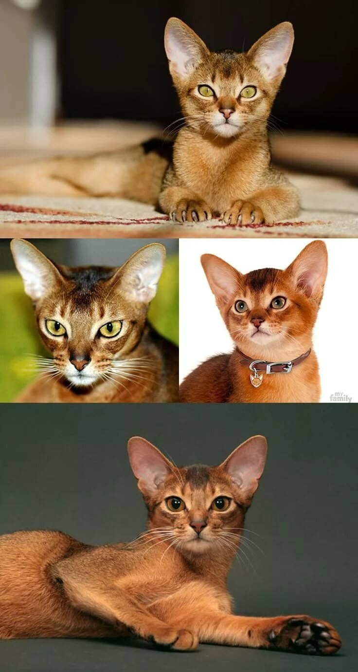 практически коты с характером собаки порода прошествии времени его
