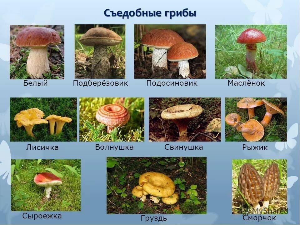 перечень съедобных грибов в картинках