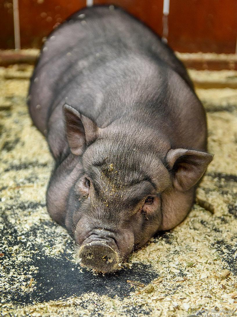 Фото вислобрюхих свиней