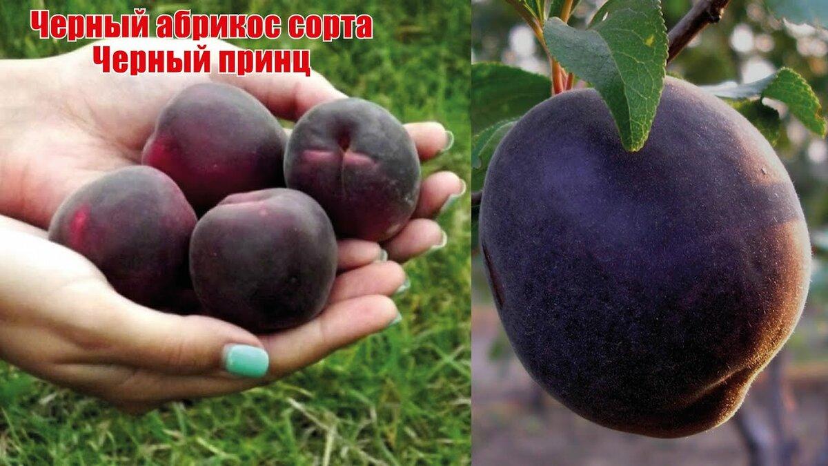 абрикос черный принц фото описание
