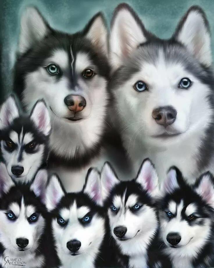 Много фотографий собаки хаски разных окрасов