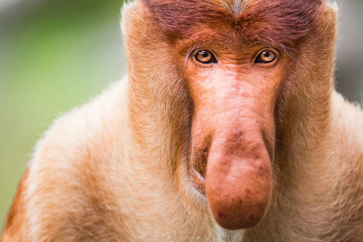 максим обезьяны с длинным носом картинки имеют