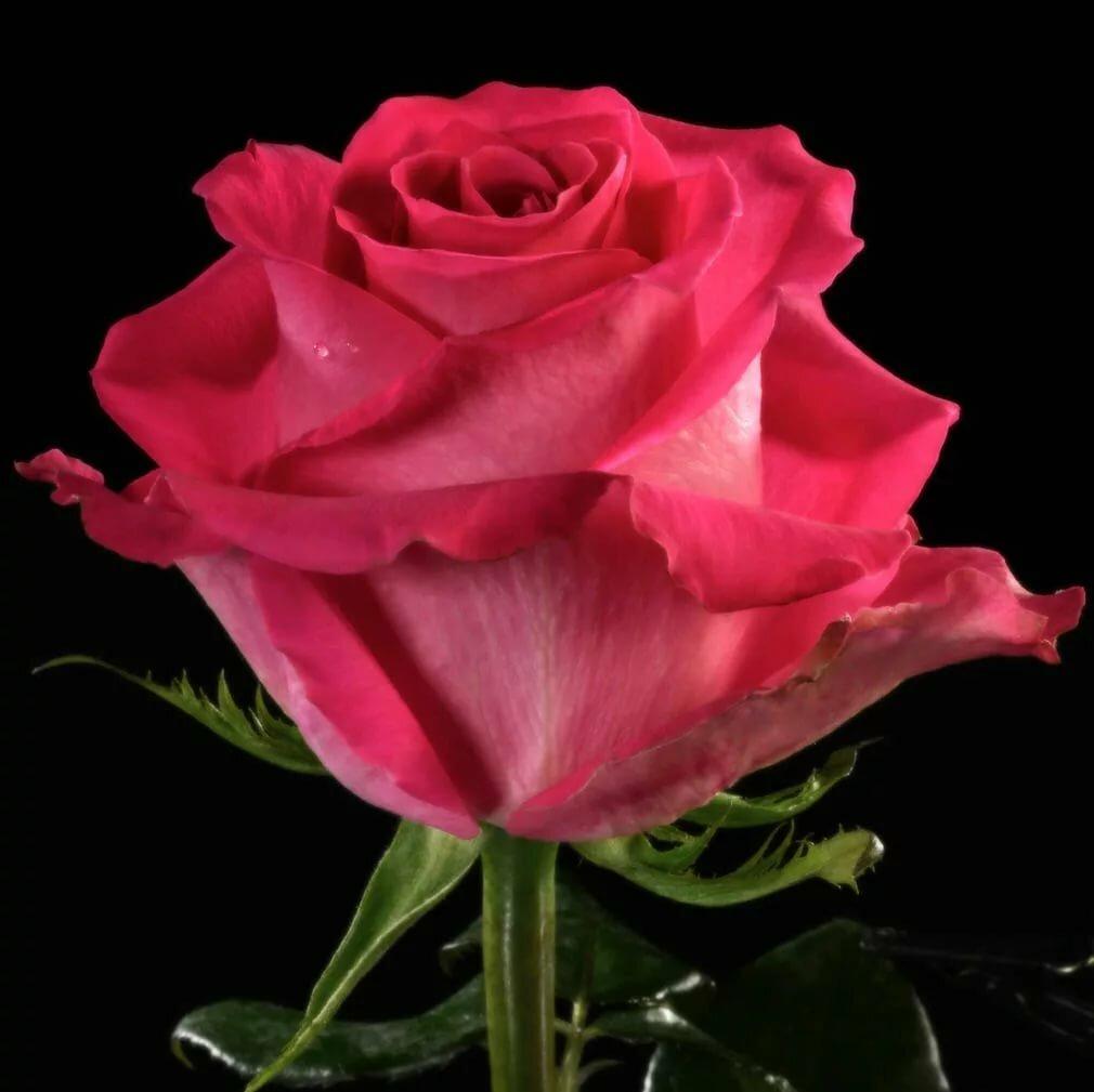 роза топаз фото этом, как