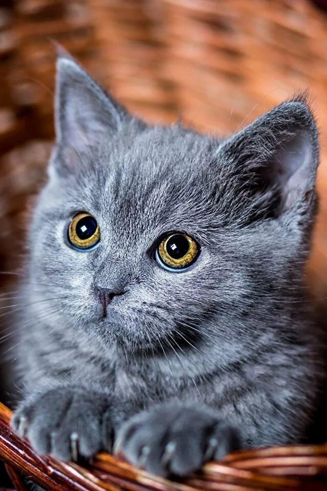 фотографии котят серых знали