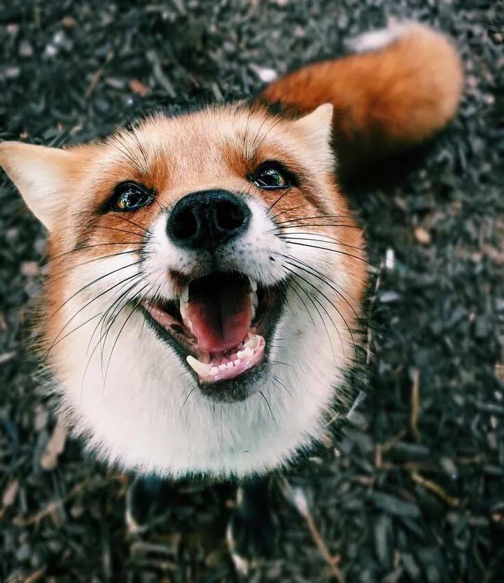 как улыбается лиса фото