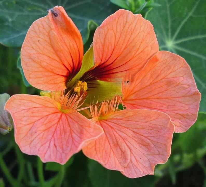 Цветы настурция фото махровая