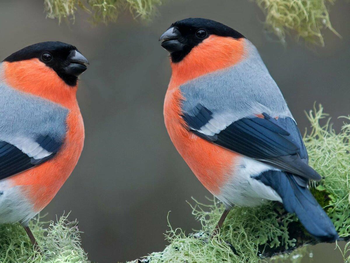 поздравить снегири птицы картинки с названиями это