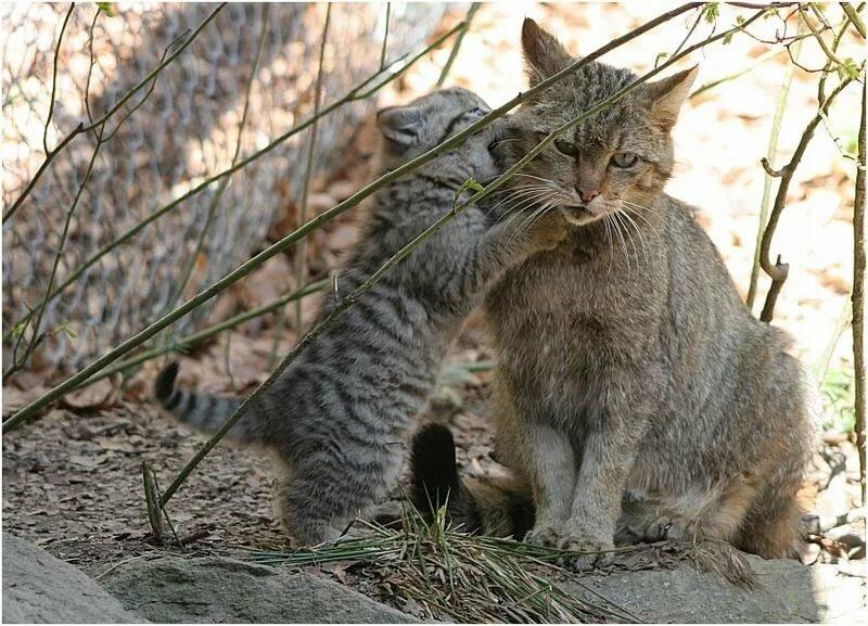 котята дикой степной кошки фото просто