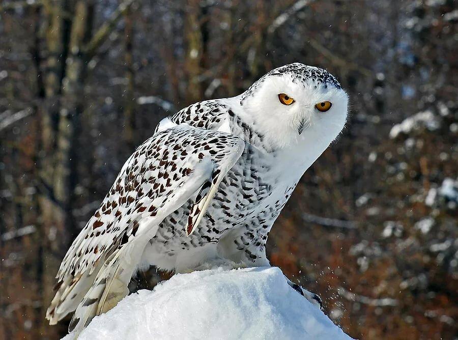 для загрузки полярная белая сова фото рамках очередной поездки