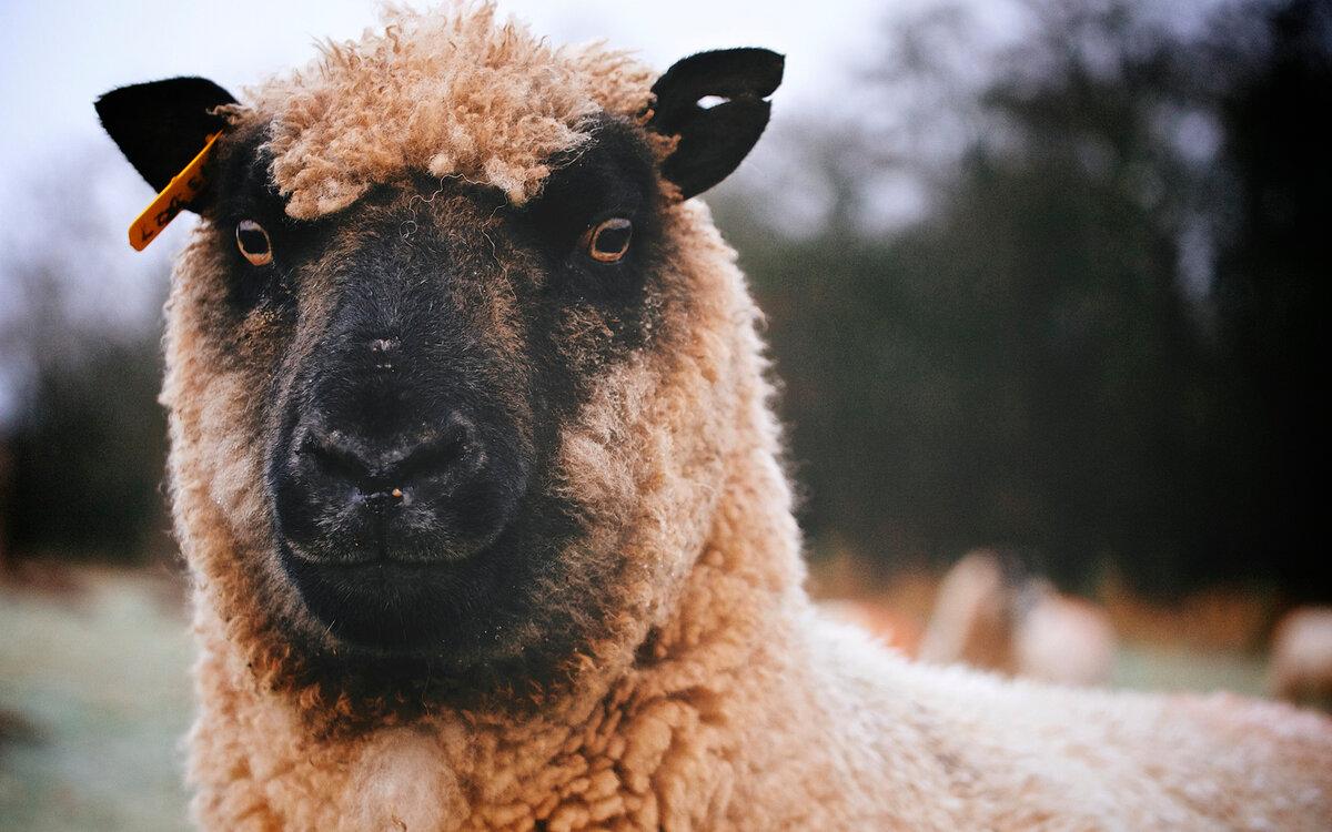 овца обои на рабочий стол множество действенных методов