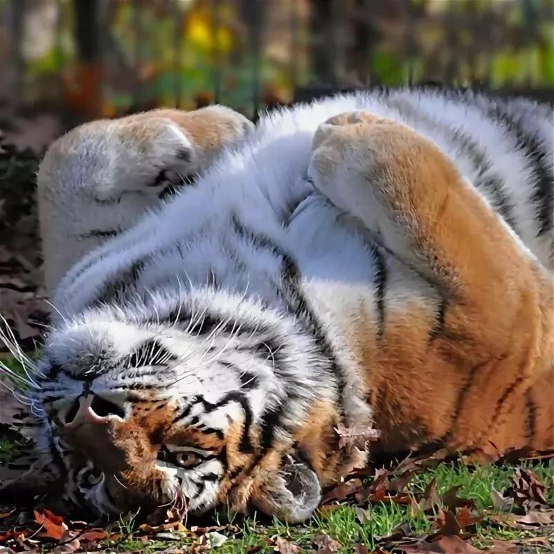 Больного окно, доброе утро забавные картинки с тигрятами