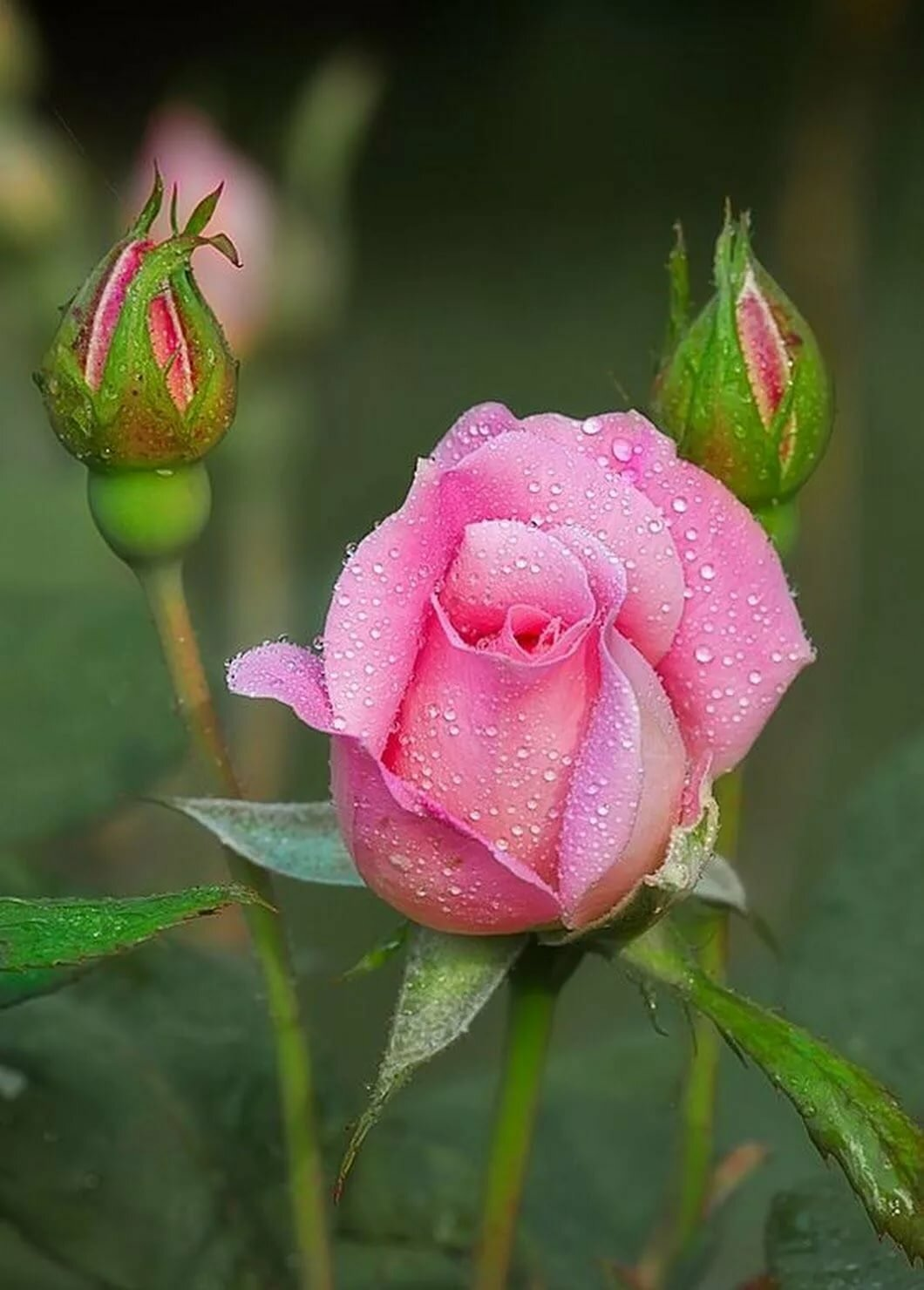 Картинки растений розы