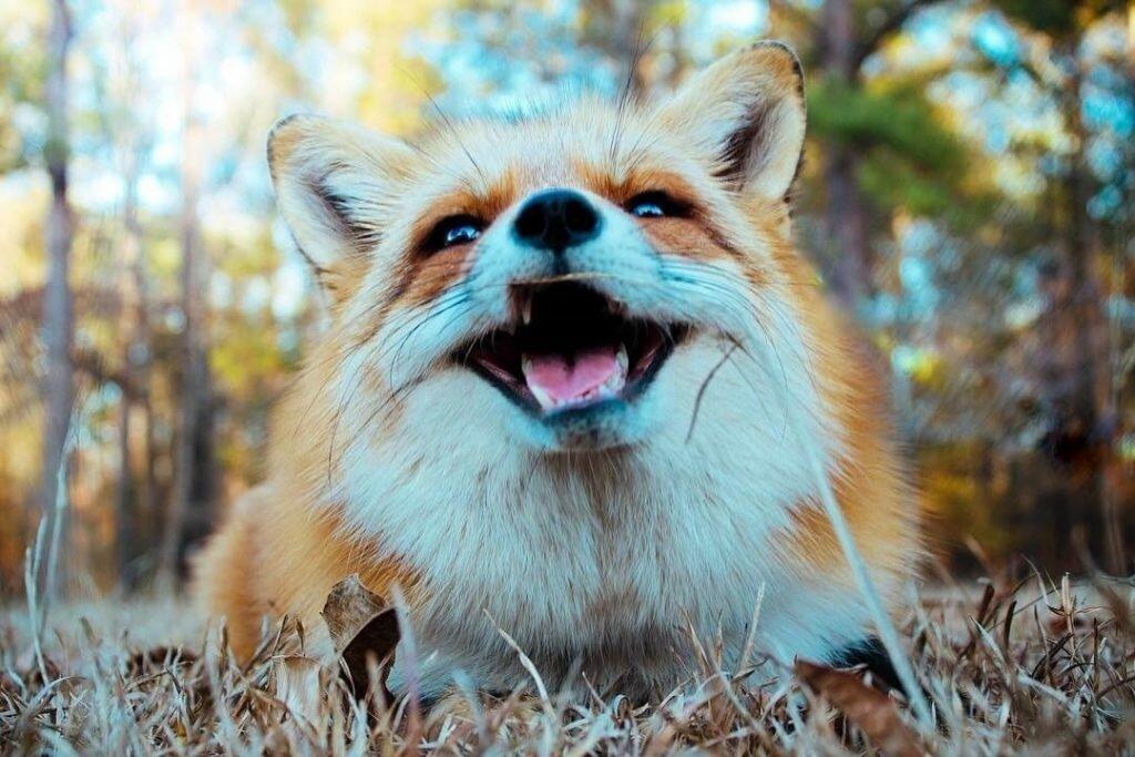 Картинка лис улыбается