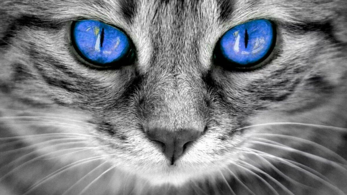 Кошка с синими глазами картинка