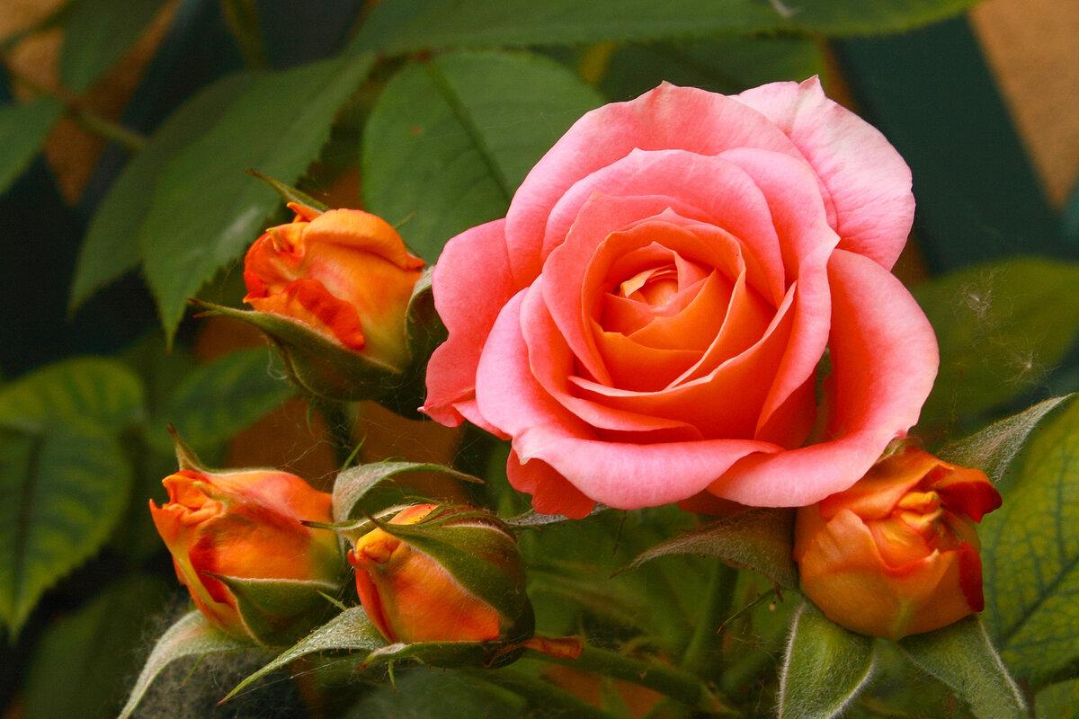 картинка розы в хорошем качестве украшений