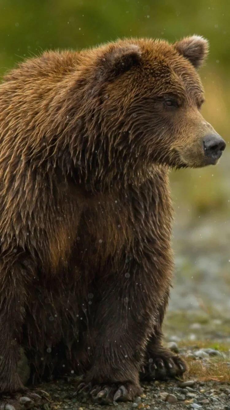окружающих картинки мокрый медведь обработка